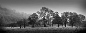 A Line of Trees on a cold and frosty morning